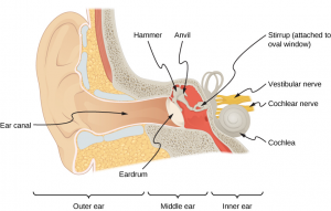 The Human Ear (Part 1)