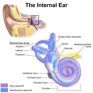 The Human Ear (Part 3)