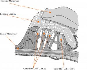 The Human Ear (Part 4)