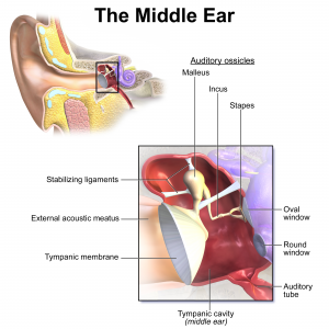 The Human Ear (Part 2)